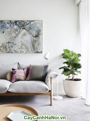 Cây bàng singapore trang trí nội thất