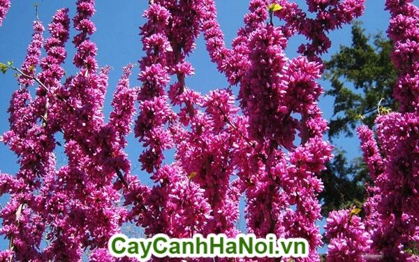 Cây hạnh phúc ra hoa