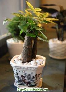 Cây kim ngân bonsai đẹp