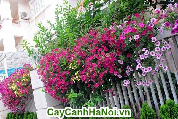 Hoa dạ yến thảo trang trí tường nhà