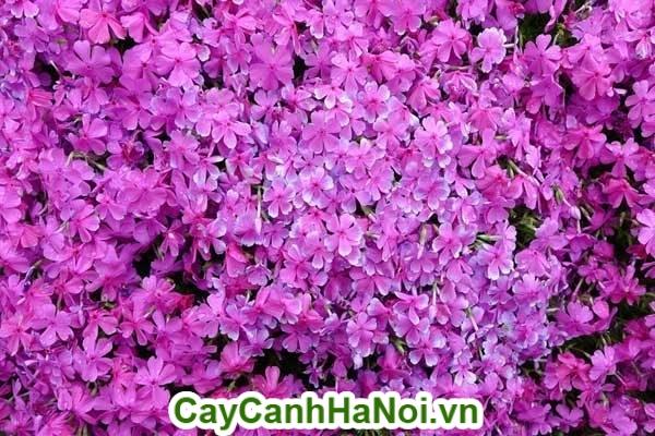 Cận cảnh hoa hạnh phúc