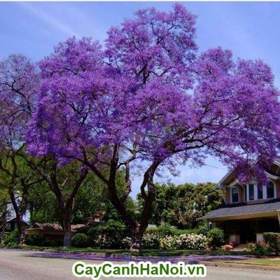 Cây hoa hạnh phúc trồng trước nhà