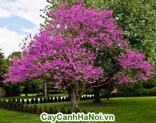 Cây hạnh phúc ra hoa tím