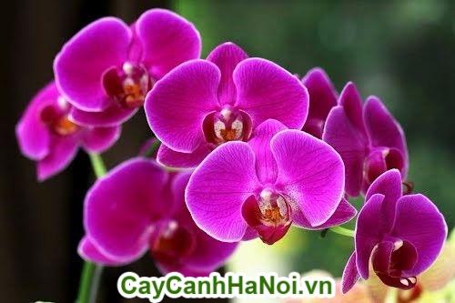Cây hoa lan hồ điệp